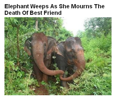 11Apr16-Elephant-weeps-FP